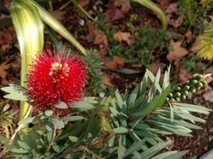 Red Banksia flower in San Diego