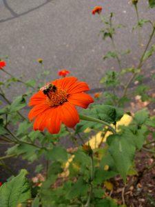 Bumble bee feeding in flower